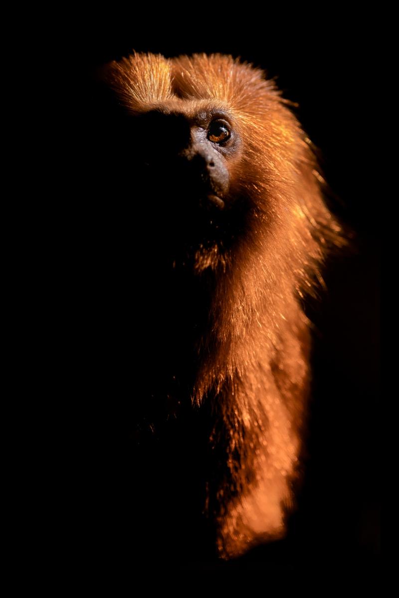 Lvíček zlatý (Leontopithecus rosalia)