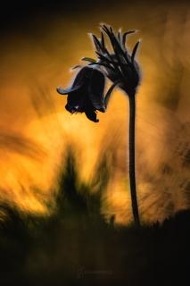 Koniklec luční (Pulsatilla pratensis)