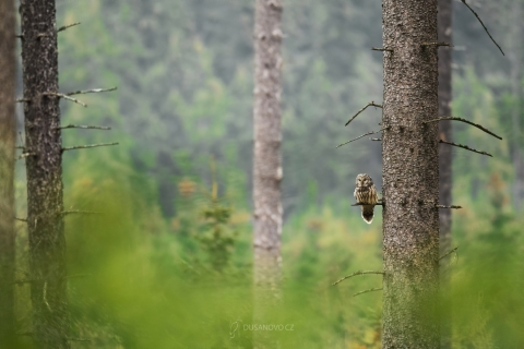 Puštík bělavý (Strix uralensis)