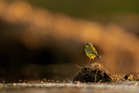 Konipas horský (Motacilla cinerea)