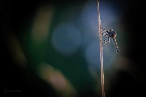 Roupec sršňový (Asilus crabroniformis)
