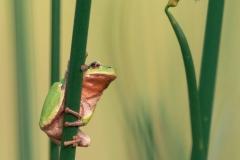 Rosnička zelená (Hyla arborea)