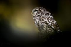 Sýček obecný (Athene noctua) - domácí mazlíček
