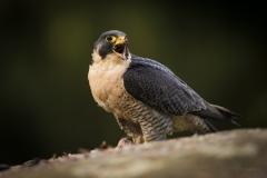Sokol stěhovavý (Falco peregrinus) - domácí mazlíček