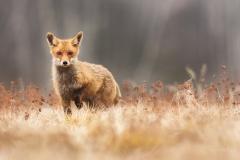 Liška obecná (Vulpes vulpes) - zasloužilý workshopista