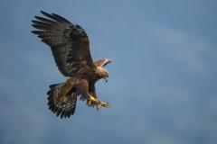 Orel královský (Aquila heliaca)